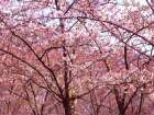 Blossom Pink Trees 2