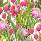 Tulip Symphony I