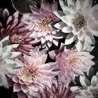 Plum Florals