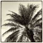 Palm Tree Sepia I