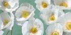 Poppy Arrangement (Mint)