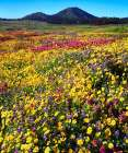 California, Cuyamaca Rancho SP Flower landscape