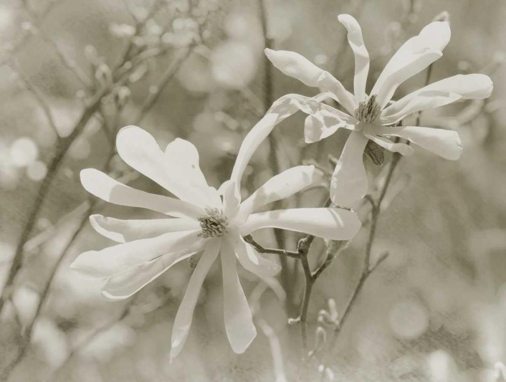 Star Magnolias II