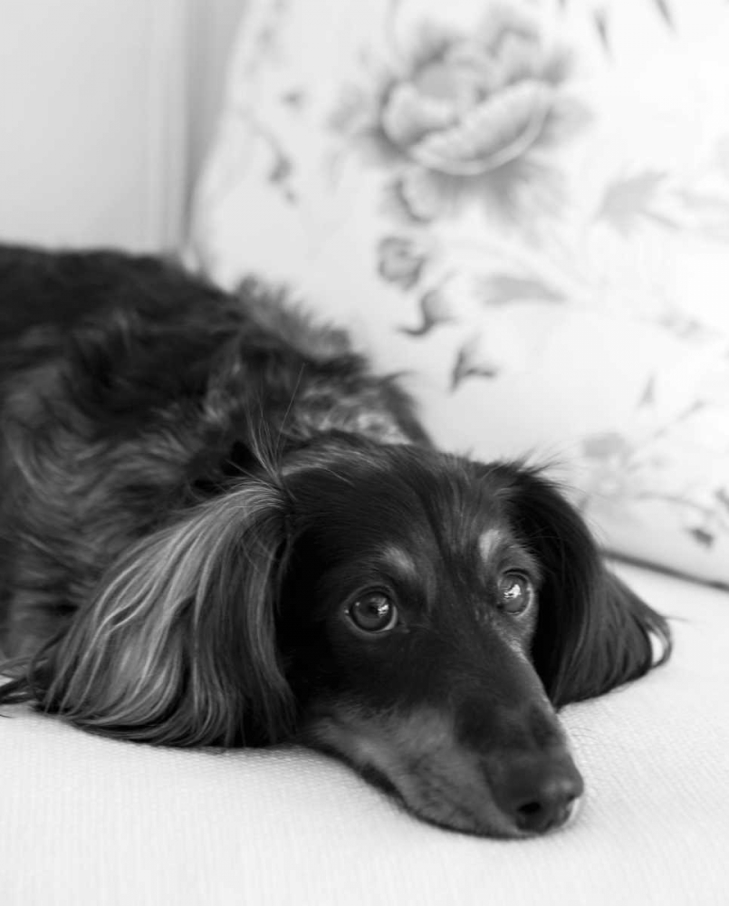 Dachshund Black and White