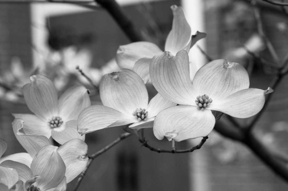 Dogwood Blossoms II BW