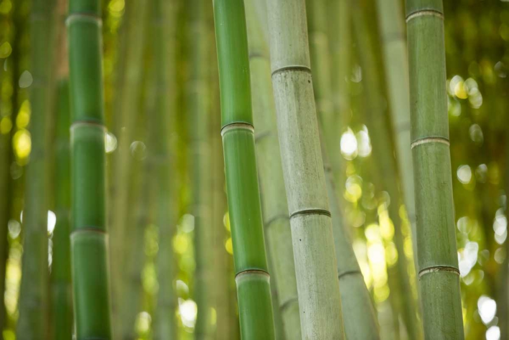Bamboo and Bokeh II