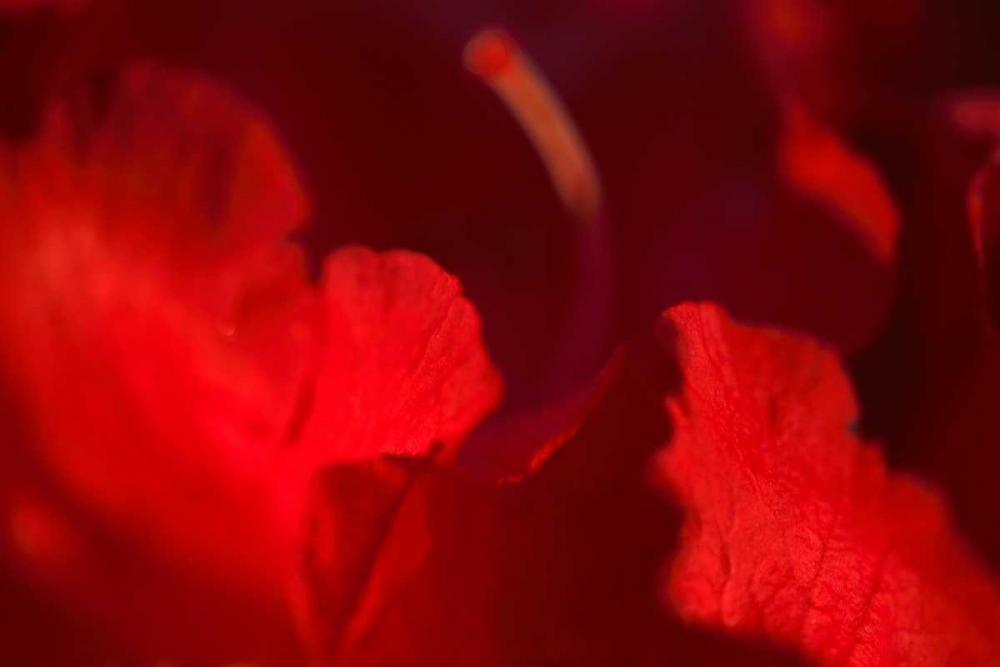 Crimson Petals I
