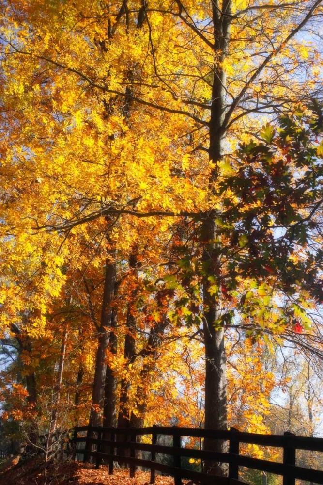 Boughs of Gold II