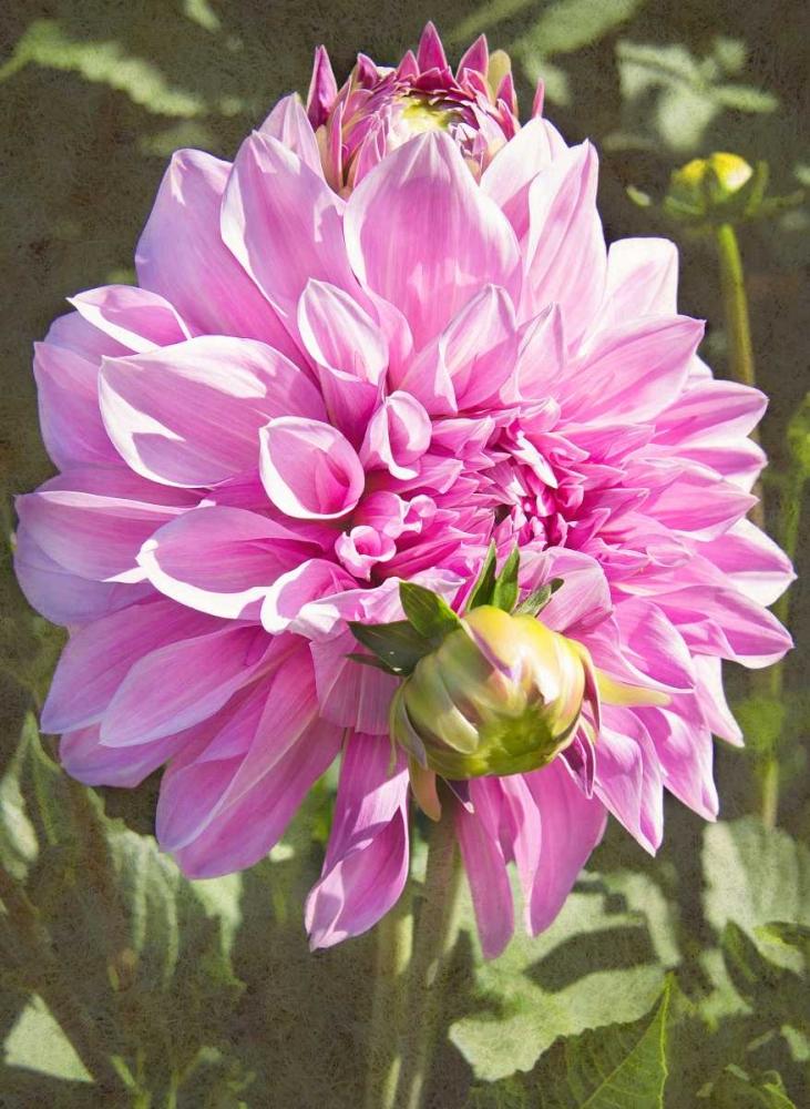 Garden Dahlias VI