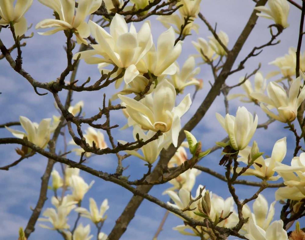 Tulip Treer