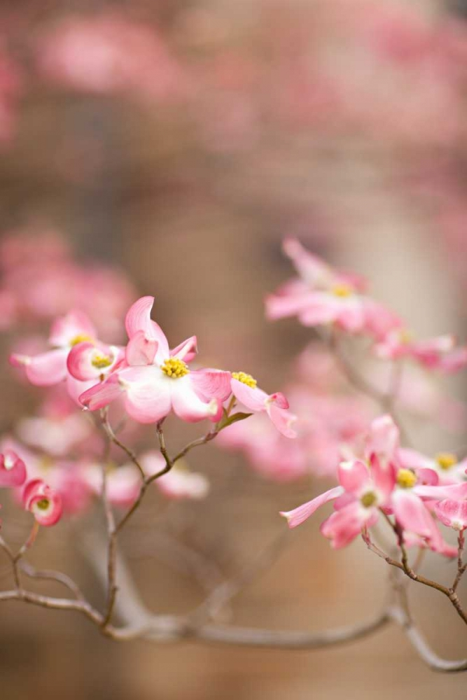 Spring Blossoms III