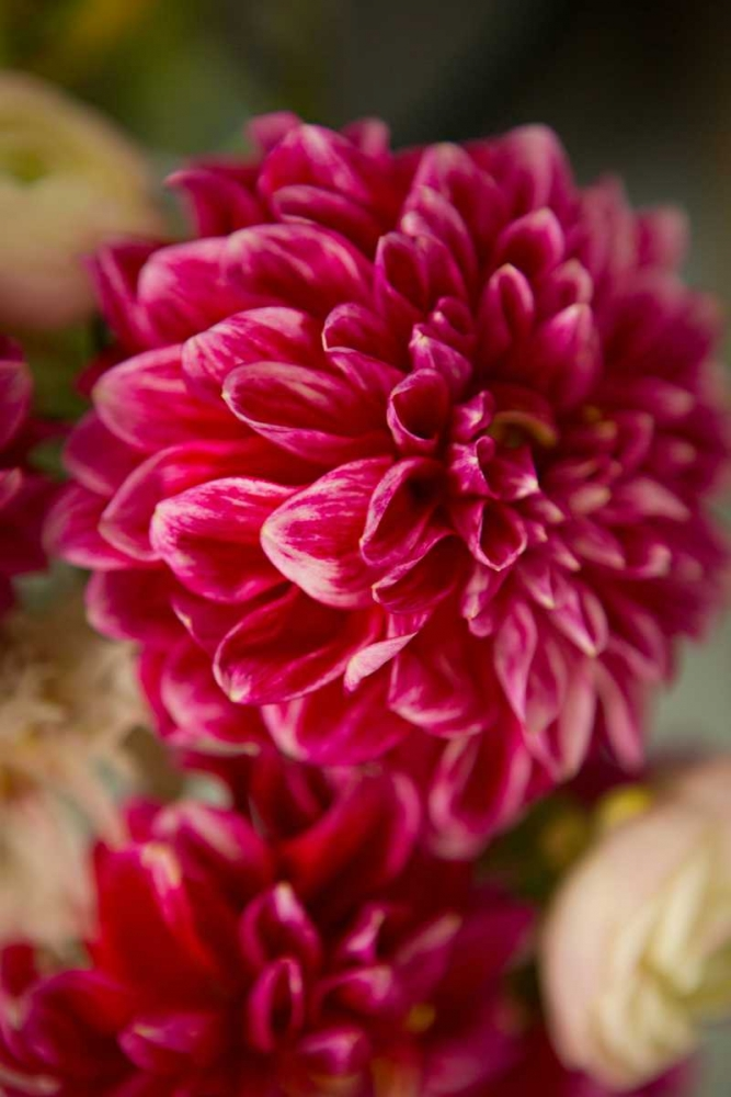 Pink and White Dahlias II