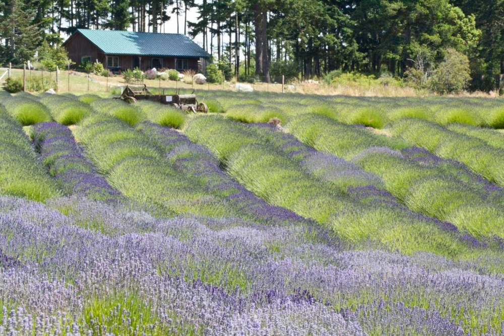 Lavender Hill I