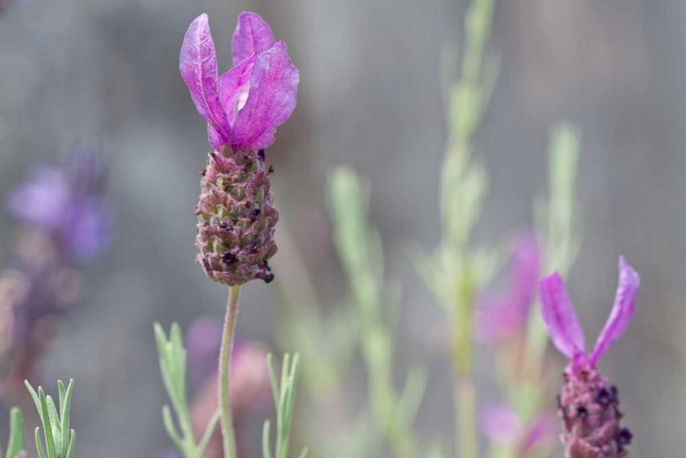 Lavender Bud II