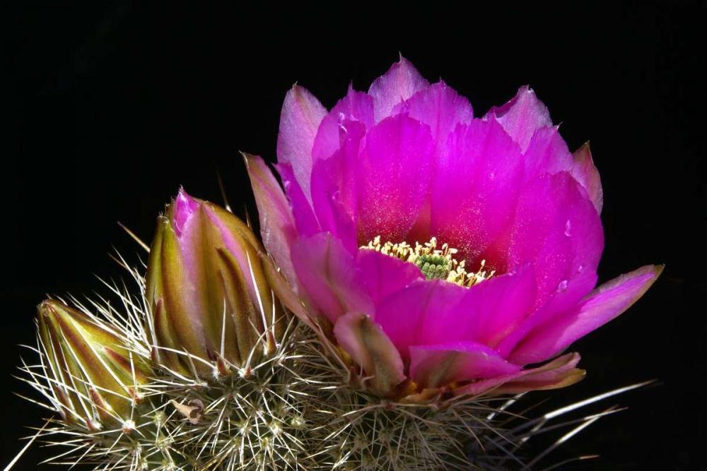 Hedgehog Flowers I