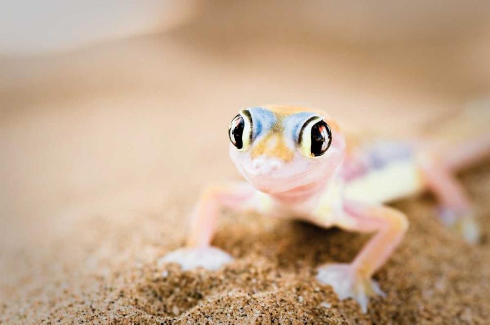 Dune Gecko II