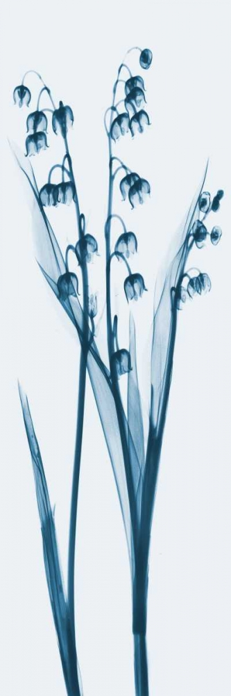 Lily of the Valley in Blue