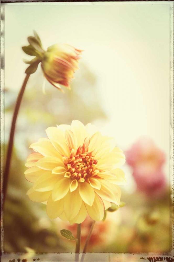 Yellow Orange Dahila