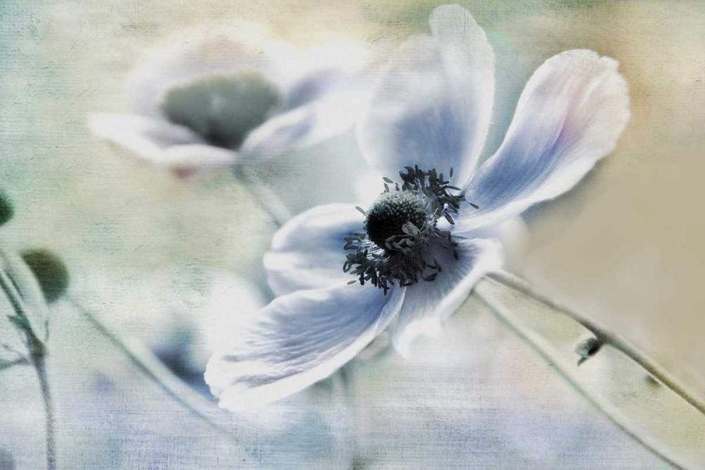 Anemone Whisper