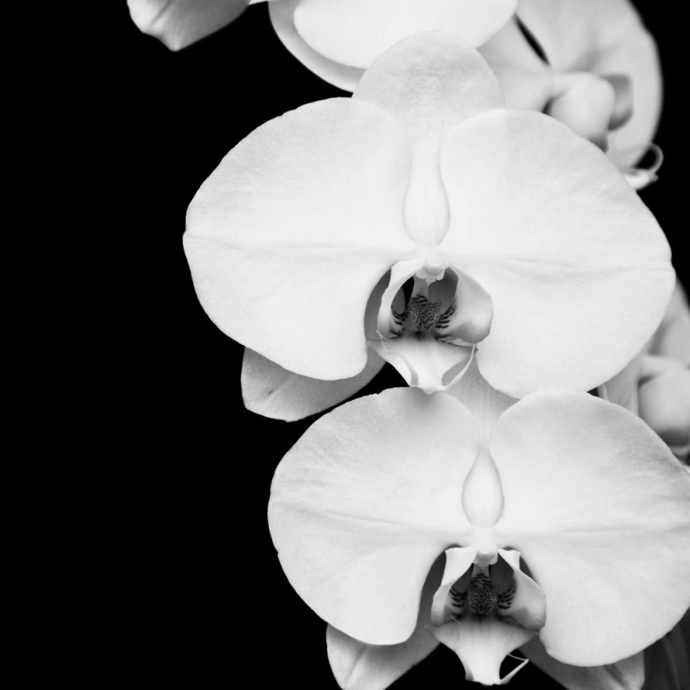 Orchid Portrait II