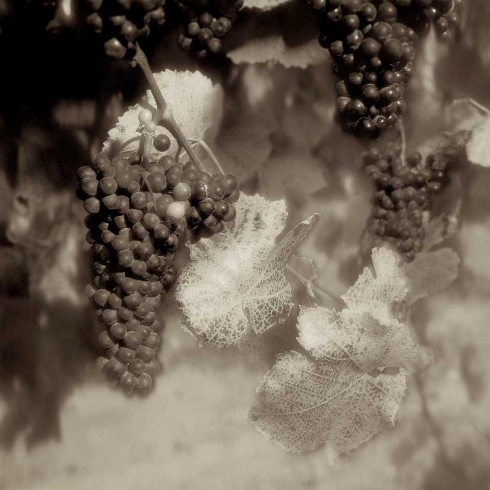 Grapes Sepia - 40A