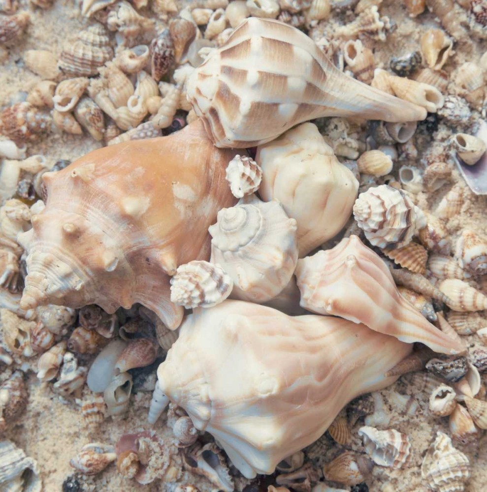 Shell Collection I