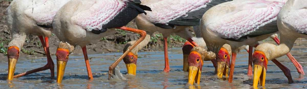 Yellow Billed Storks Fishing