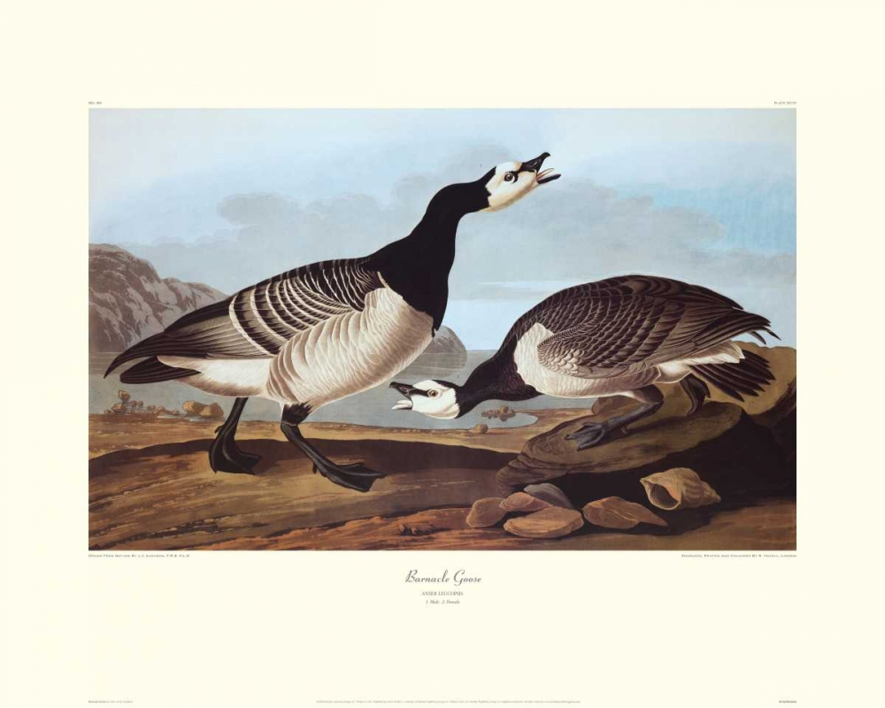 Barnacle Goose (decorative border)