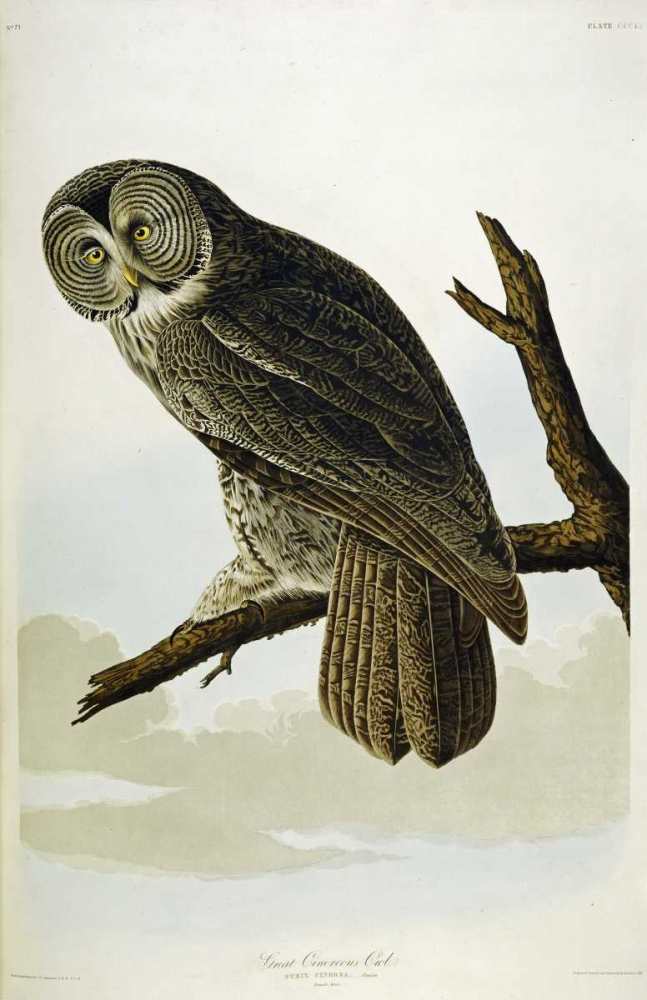 Great Cinereous Owl