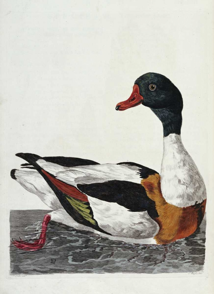 Hand Colored Engraving of a Duck