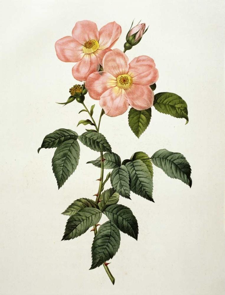 Rosa Indica Frangras - Flora Simplici
