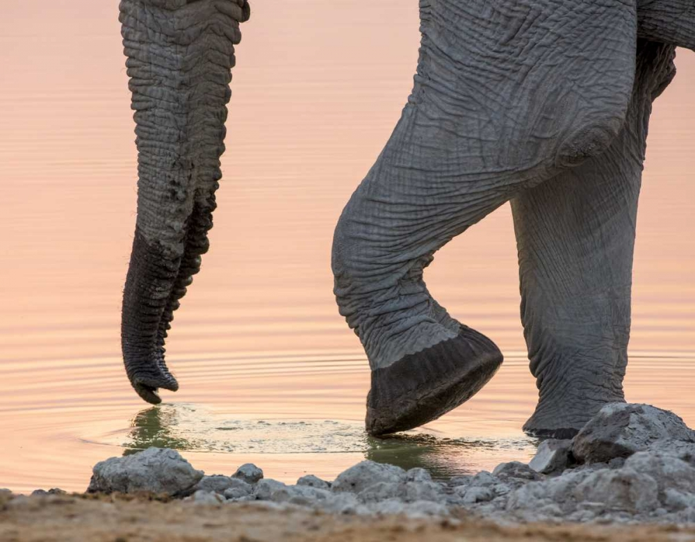 Namibia, Etosha NP Drinking elephant at sunset