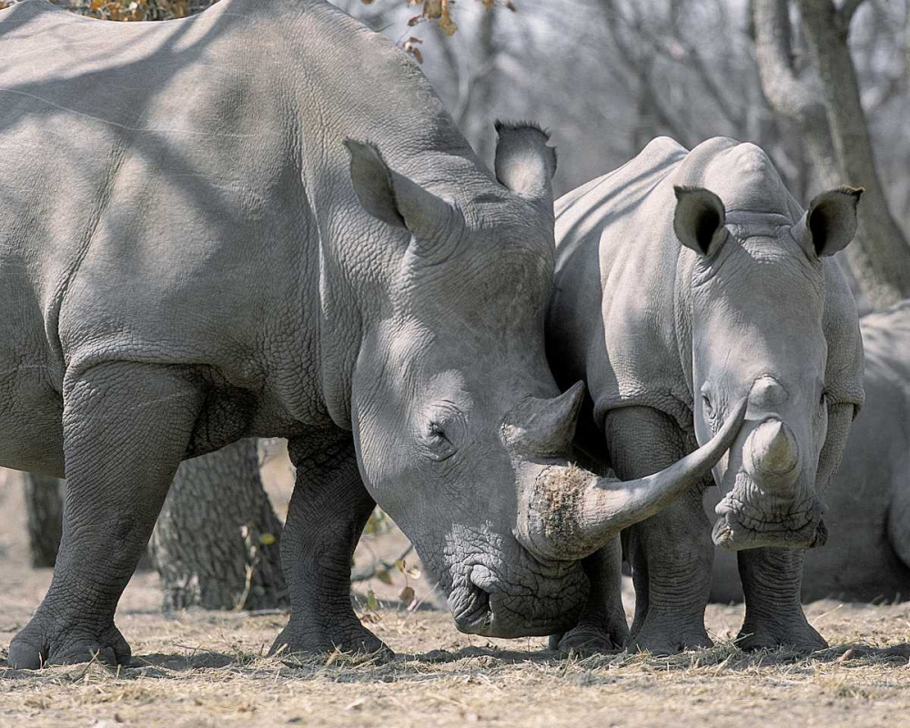 Africa, Namibia White rhino mother and calf
