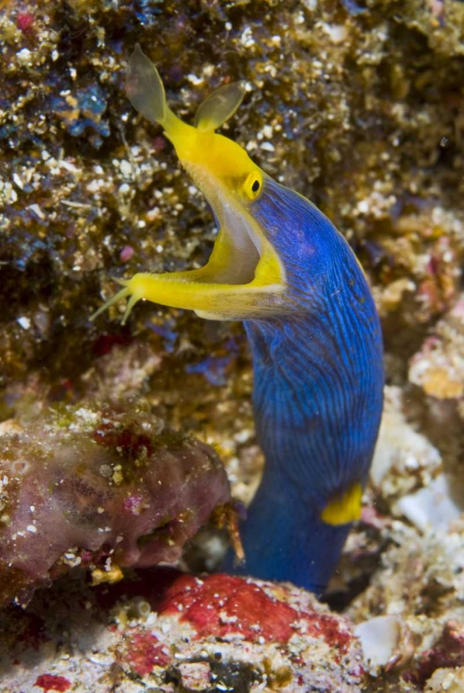 Indonesia, Suangi Island Colorful ribbon eel