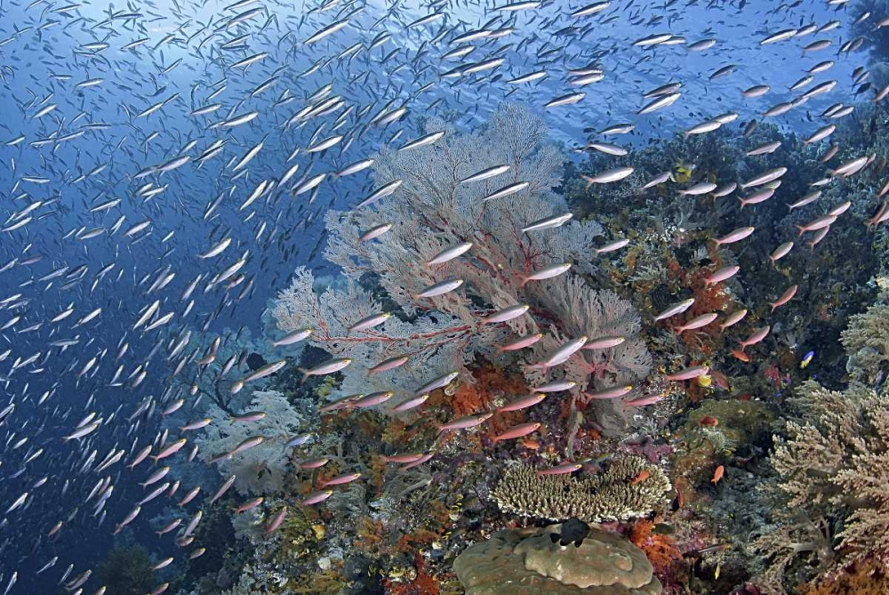 Indonesia, Raja Ampat Underwater fish and coral