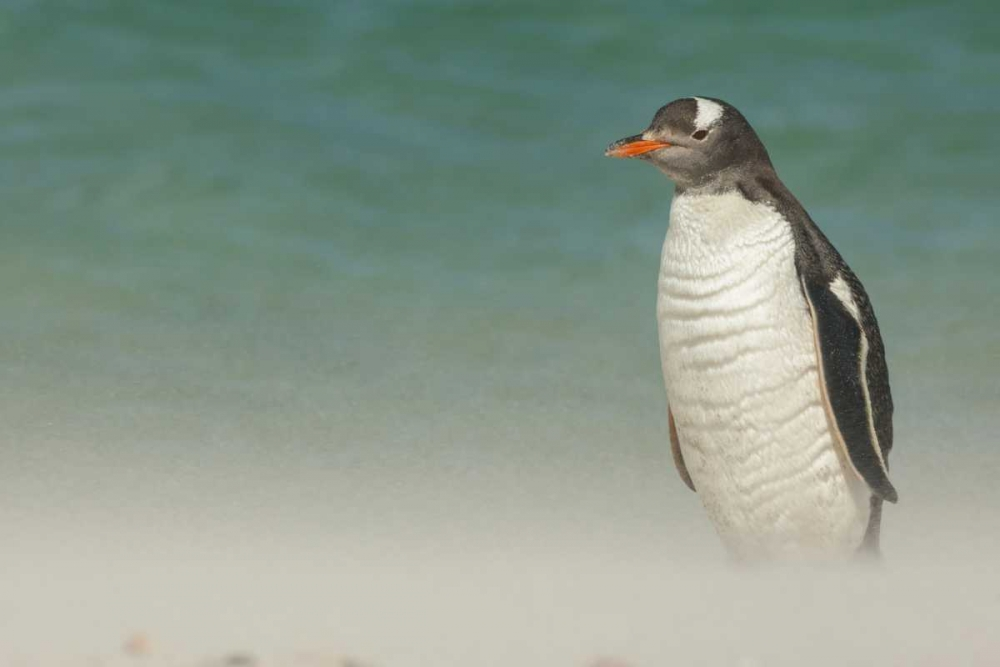 Bleaker Island Gentoo penguin on the beach