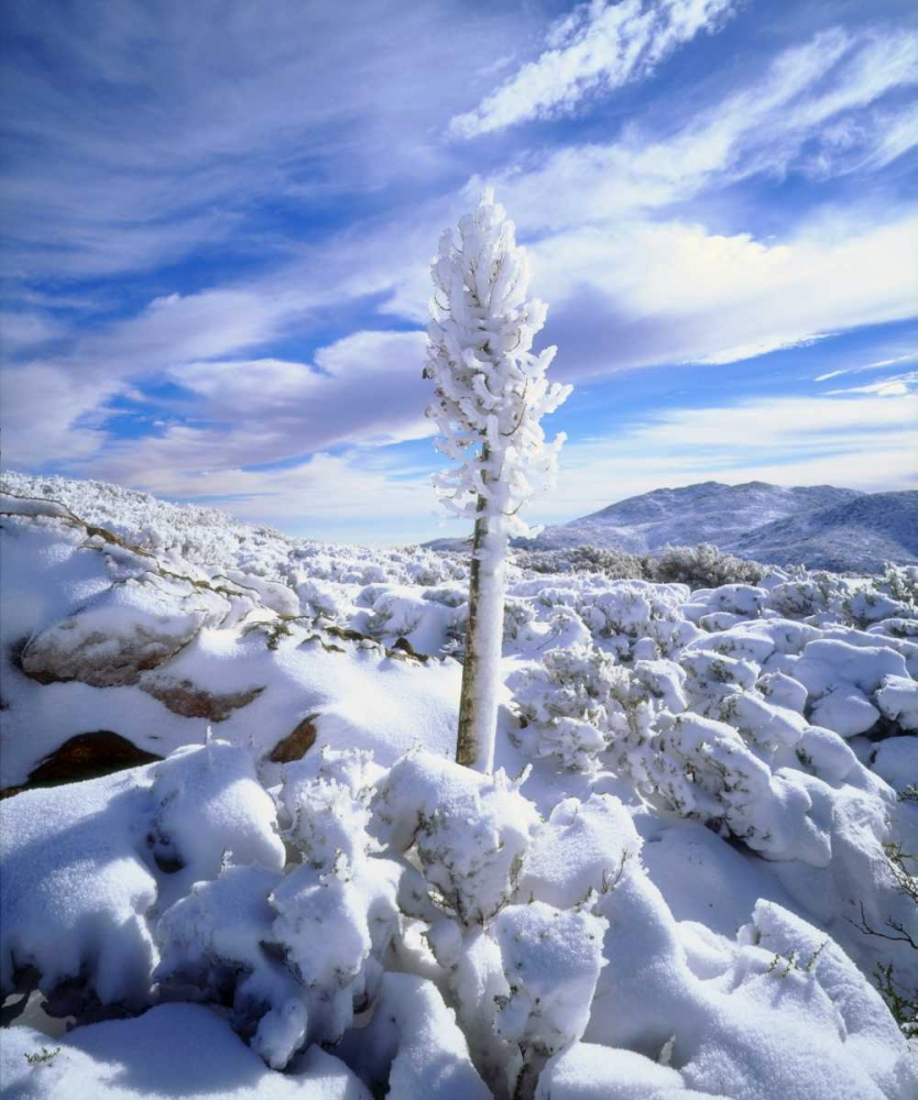 California, Anza-Borrego A snow covered yucca