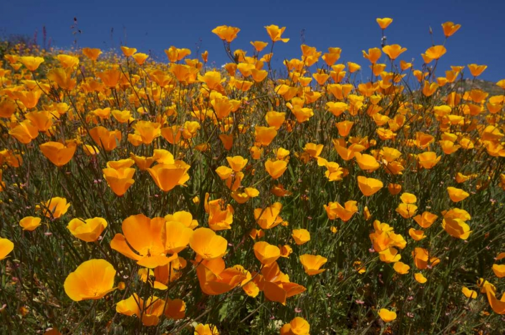 California, San Diego, Rattlesnake Canyon, Poppy