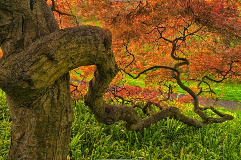 Delaware, Japanese maple tree