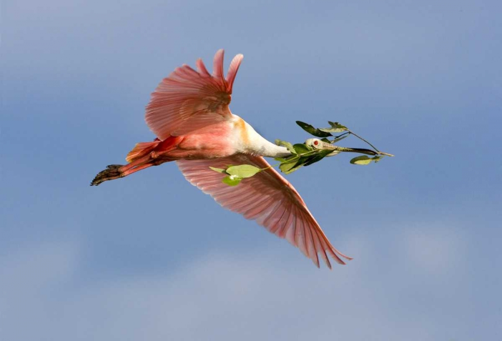 FL, Tampa Bay Roseate spoonbill in flight
