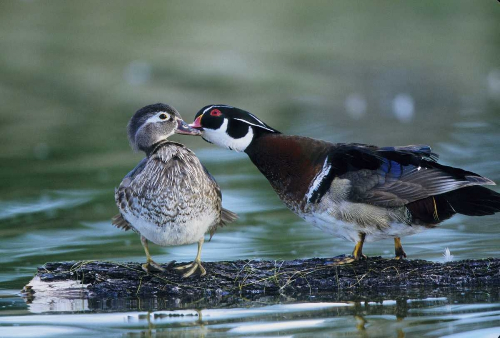 Florida Wood duck interacts with young offspring