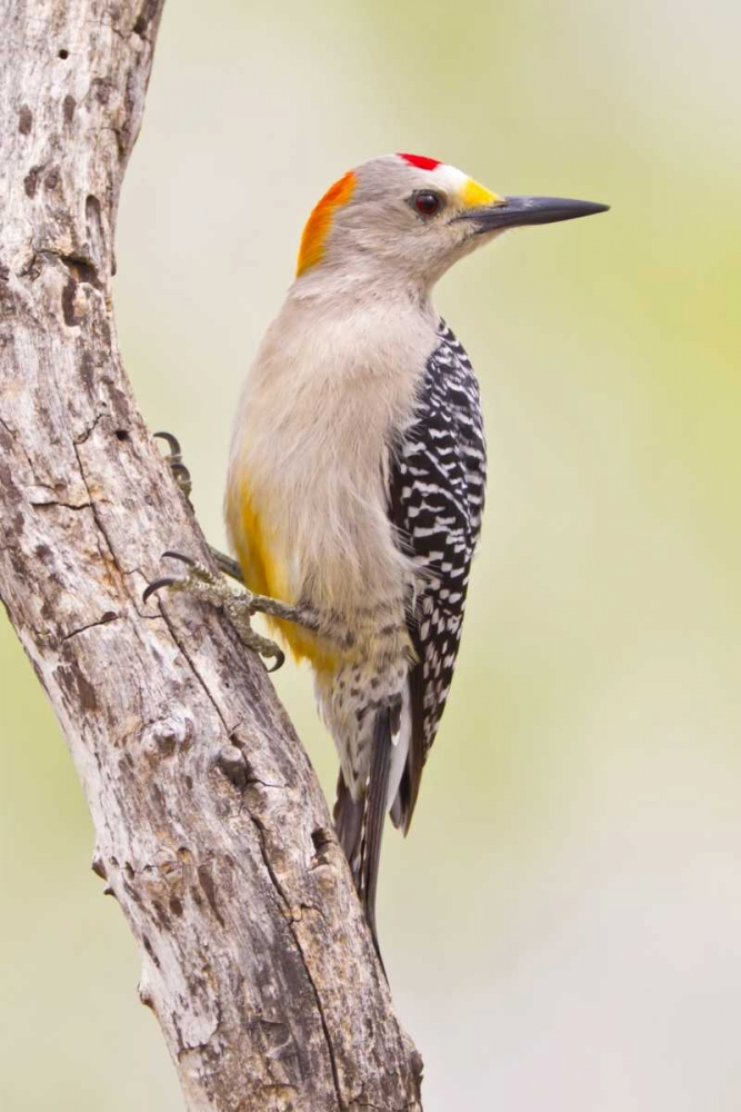 TX, Mission Golden-fronted woodpecker on branch