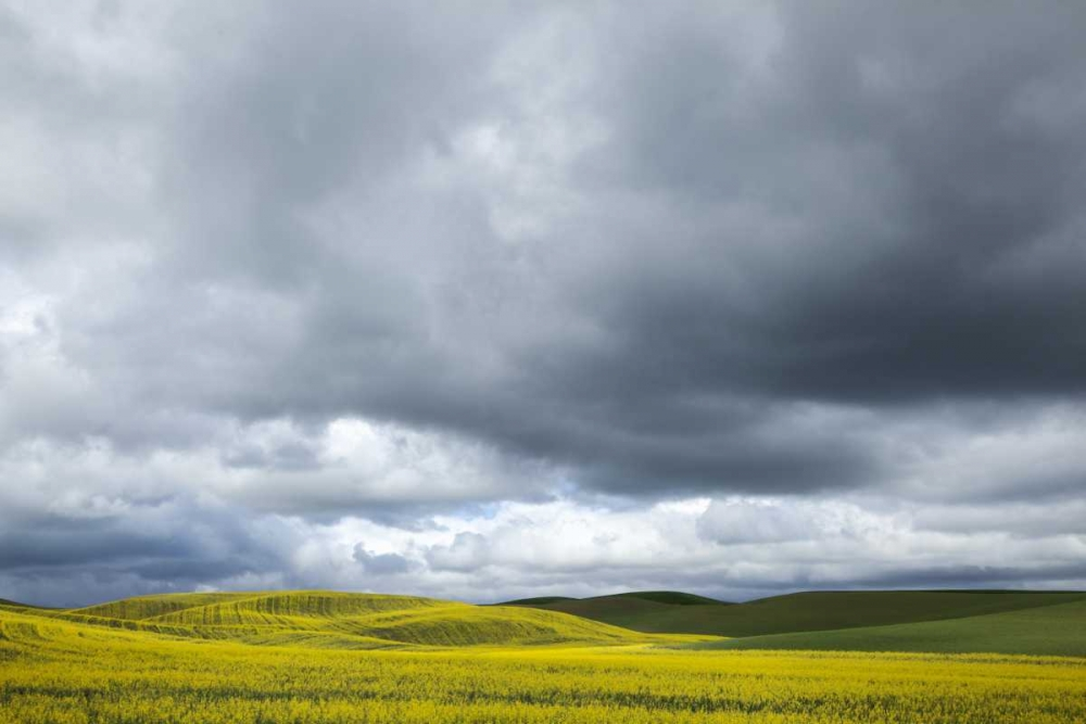 WA, Palouse Canola field on a stormy day