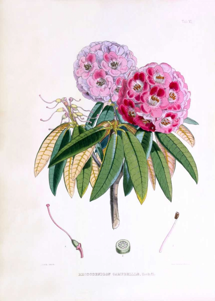 Rhododendron Campbelliae