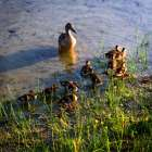 Mother Duck And Family I