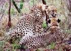 Safari Cheetah II
