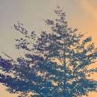 Tree Haze