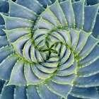 Spiral Succulent