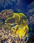 Barrier Reef Coral III