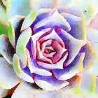 Succulente II